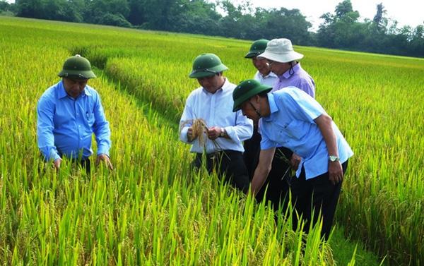 Hàng nghìn hộ dân có nguy cơ thiếu gạo do bệnh đạo ôn tại Hà Tĩnh