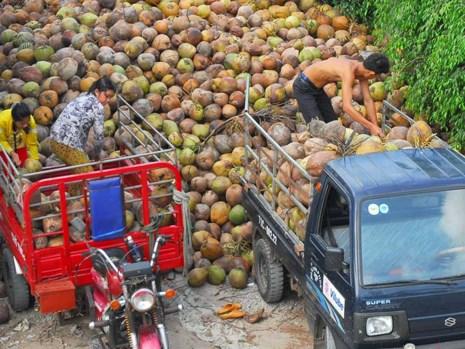 Thu nhập từ dừa quá bấp bênh khiến nông dân gặp khó khăn. Trong ảnh: Nông dân đang vận chuyển dừa bán cho DN. Ảnh: ĐÔNG HÀ